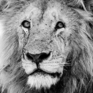 Köpa lejon djurbilder tryckta på glas - av felix oppenheim | Art On The Wall